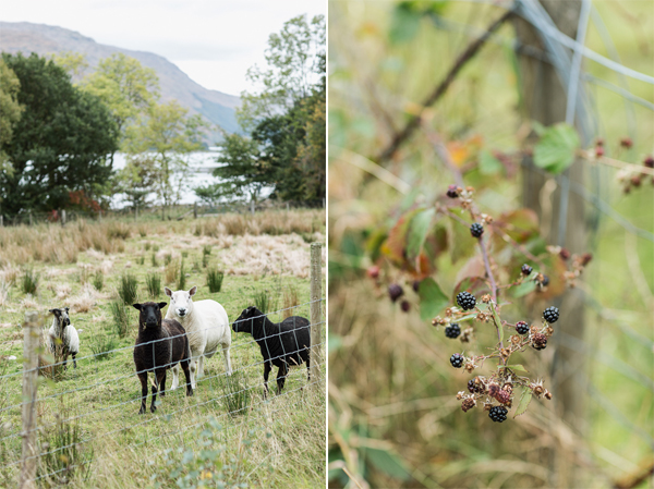 sheep and berries scotland landscape
