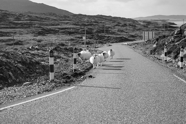 sheep on the road at harris island