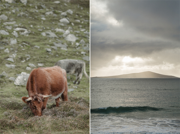 highland cows and waves at island of harris